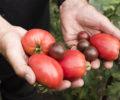 Jean-Pierre et ses tomates