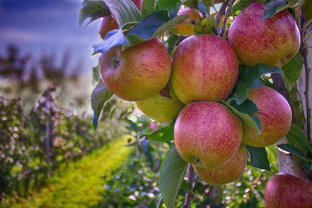 Greffe et taille des fruitiers : initiation aux techniques en arboriculture fruitière